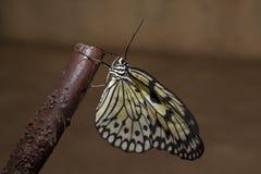 Бабочка рисовой бумаги на ветви Стоковое Изображение