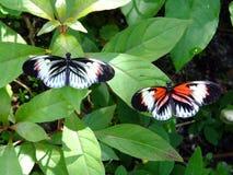 Бабочка рояля ключевая или Heliconius Melpomene стоковое фото