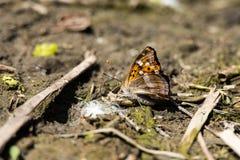 Бабочка рябчика принимая соли Стоковые Изображения