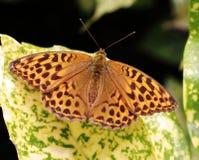 Бабочка рябчика сидя на variated лист Стоковая Фотография
