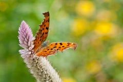 Бабочка рябчика Стоковые Фотографии RF