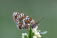 Бабочка рябчика Glanville Стоковое Изображение