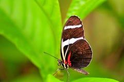 Бабочка, Сара Longwing в aviary в Флориде Стоковое Изображение RF