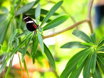 Бабочка, Сара Longwing в aviary Стоковая Фотография
