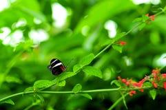 Бабочка Сары Longwing макроса в aviary Стоковое фото RF
