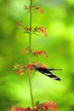 Бабочка Сары Longwing (Heliconius sara) в aviary Стоковая Фотография RF