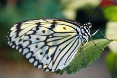 Бабочка садить на насест на зеленых лист Стоковое Фото
