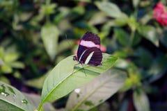 Бабочка садить на насест на розовых цветках Стоковое фото RF