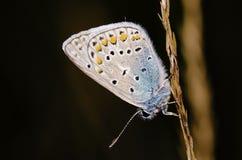 Бабочка серого цвета шифера Стоковая Фотография