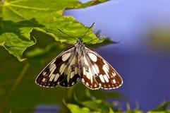 Бабочка серой белизны маленькая сидя на зеленом цветке Стоковое Фото