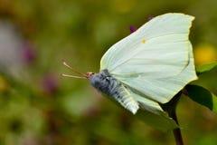 Бабочка серы Стоковое Изображение RF