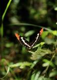 Бабочка сестры Калифорнии на лист стоковое изображение