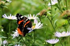 Бабочка сидит на цветке и ест цветень стоковые изображения