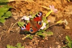 Бабочка сидит на цветке стоковое изображение