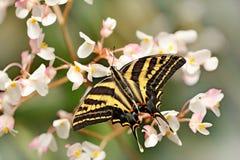 Бабочка сидя на зеленом разрешении Pilumnus Papilio бабочки, в среду обитания леса зеленого цвета природы, к югу от США, Аризона Стоковые Изображения RF
