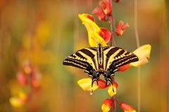 Бабочка сидя на красном желтом цветке Pilumnus Papilio бабочки, в среду обитания леса зеленого цвета природы, к югу от США, Аризо Стоковые Фото