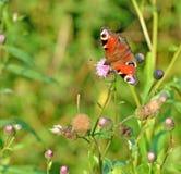 Бабочка сидя на макросе цветка Стоковые Изображения