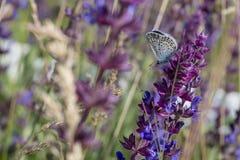 Бабочка сидя на цветках шалфея, copyspace Стоковые Изображения