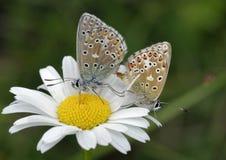 Бабочка сини Адониса стоковые изображения