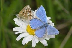 Бабочка сини Адониса стоковое изображение