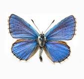 бабочка сини adonis стоковые фото