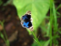 бабочка син Стоковые Изображения RF
