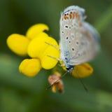 Деталь бабочки Стоковые Изображения