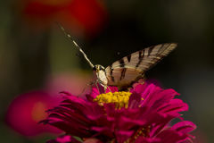 Бабочка сидя на красном цветке