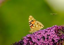 бабочка сидя на фиолетовых лист стоковое изображение rf