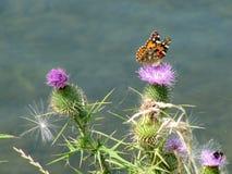 Бабочка сидя на цветке thistle Стоковая Фотография RF