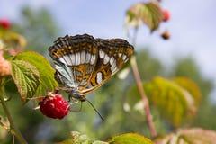 Бабочка сидя на ягоде Стоковое Изображение