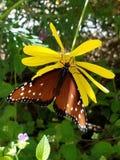 Бабочка смертной казни через повешение на желтой маргаритке Стоковая Фотография RF