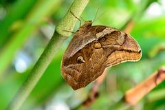 Бабочка смуглого сыча в природе Стоковое фото RF