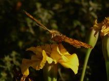 Бабочка собирает нектар на цветках весны Стоковое фото RF