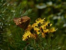 Бабочка собирает нектар на цветках весны Стоковая Фотография RF