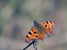 Бабочка собирает нектар на цветках весны Стоковые Изображения