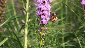 Бабочка собирает нектар на цветках видеоматериал