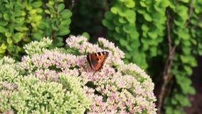 Бабочка собирает нектар на цветках сток-видео