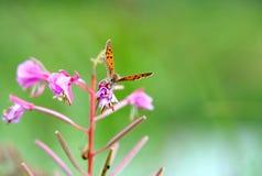 бабочка собирает цветень Стоковые Изображения