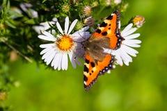 бабочка собирая цветень Стоковые Фотографии RF