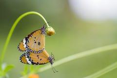 Бабочка сопрягая на цветках Стоковые Фото