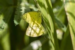 Бабочка, сопрягая - общий желтый цвет травы - hecabe Eurema стоковая фотография rf