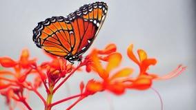 Бабочка солдата на запачканной предпосылке, Флориде Стоковое Изображение RF