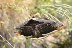 Бабочка сумеречницы стоковые фотографии rf