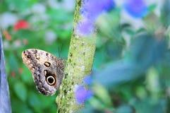 Бабочка сыча на дереве Стоковая Фотография