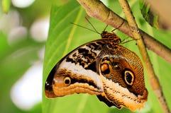 Бабочка сыча (нижняя сторона) Стоковая Фотография RF
