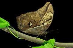 Бабочка сыча Стоковые Фото