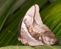 Бабочка сыча Стоковое Изображение RF