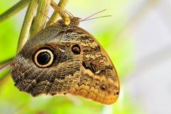 Бабочка сыча Стоковое Фото