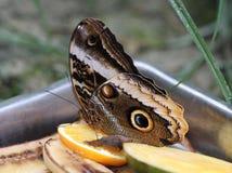 Бабочка сыча, atreus caligo Стоковые Фото